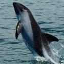 şili yunus balığı