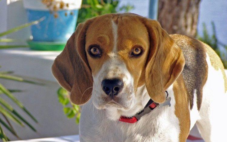 beagle-kopek-cinsi