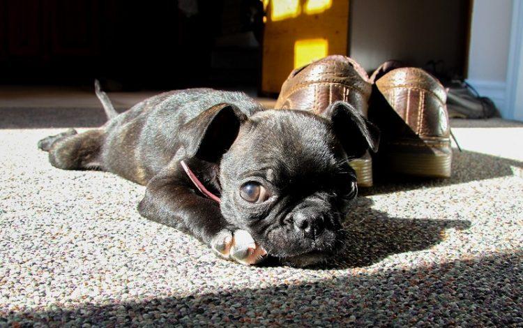 boston-terrier-kopek-cinsi