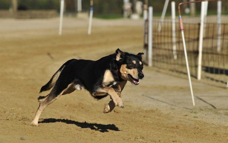 greyhound-kopek-cinsi
