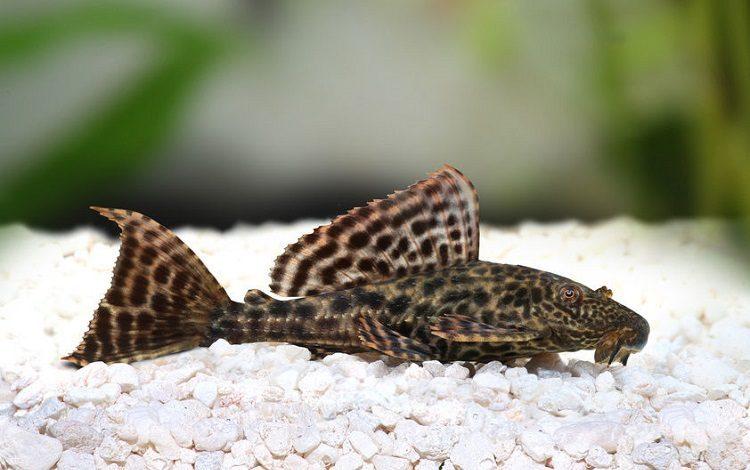 Vatoz-Baligi, akvaryum-Vatoz-Baligi, plec-fish, vantuz-baligi