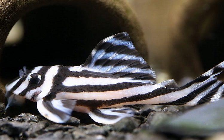 zebra-vatoz, zebra-vatoz-baligi, vatoz-baligi, akvaryum-vatoz-baligi
