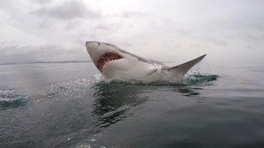 Büyük Beyaz Köpekbalığı, Beyaz Köpekbalığı