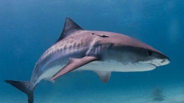 Kaplan Köpekbalığı