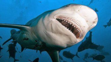 Katil Köpek Balığı