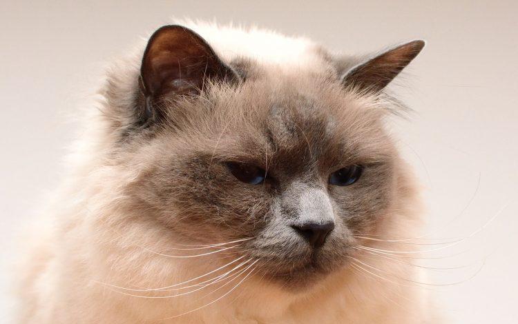 birman kedisi, birman kedisi özellikleri, birman kedisi bakımı, birman kedisi resmi, fıransızların kutsal kedisi