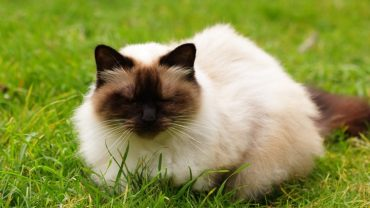 himalayan kedisi, himalayan kedisi özellikleri, himalayan kedisi bakımı, himalayan kedisi sağlığı, himalayan cat, himalaya cat