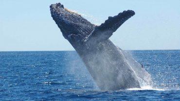 kambur balina