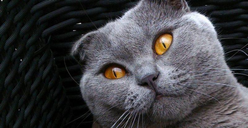 scottish fold, scottish fold özellikleri, scottish fold bakımı, iskoç kedisi