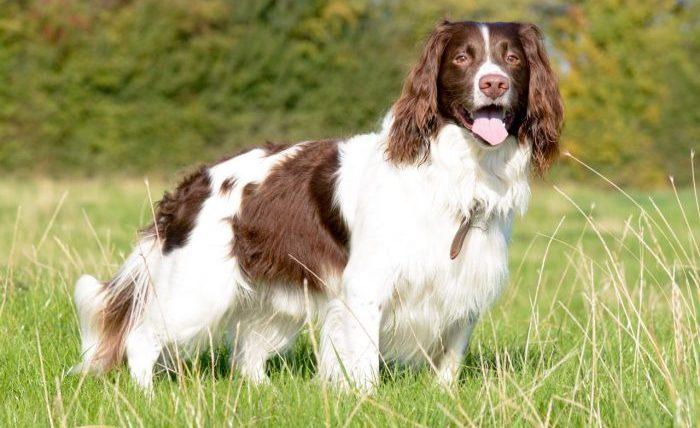 British Spaniel Dog, İngiliz Spaniel Köpeği