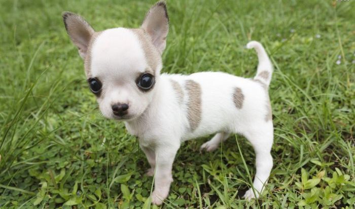 Chihuahua, Chihuahua dog, chihuahua köpek, şivava köpek, köpek chihuahua, chiwawa köpek