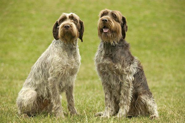 Griffon dog