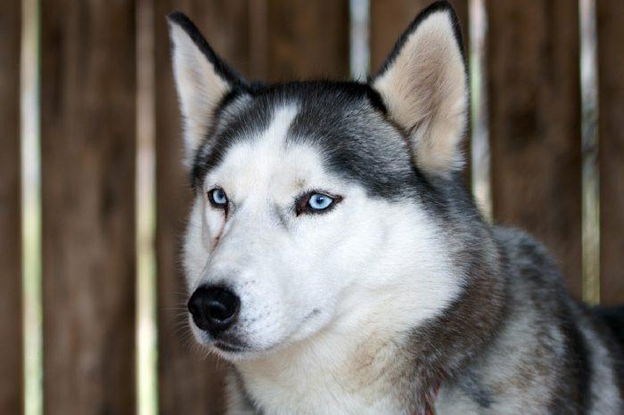 Husky, Husky dog, Husky köpek, sibirya kurdu