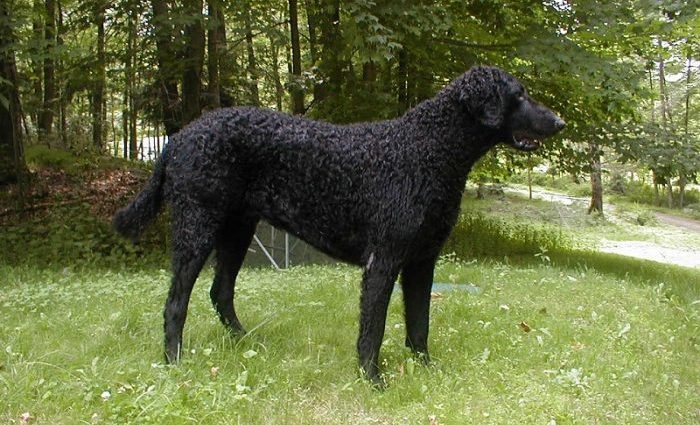 Kıvırcık Tüylü Retriever, Curly Hairy Retriever
