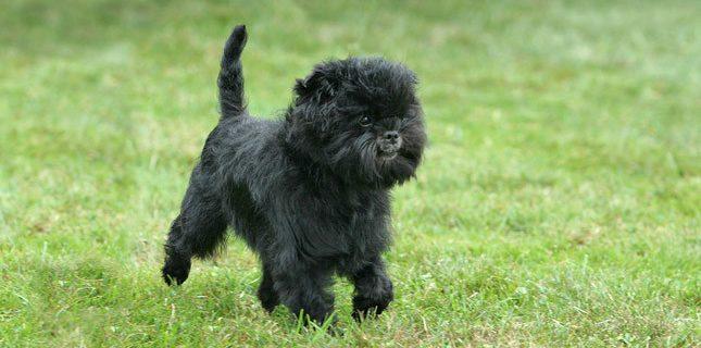 affenpinscher, affenpinscher dog, Affenpinsher, maymun terrier, monkey terrier