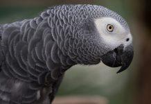 afrika papağanı