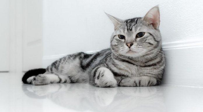 amerikan kedisi, amerikan kedisi özellikleri, amerikan kedisi bakımı, amerikan kedisi beslenmesi