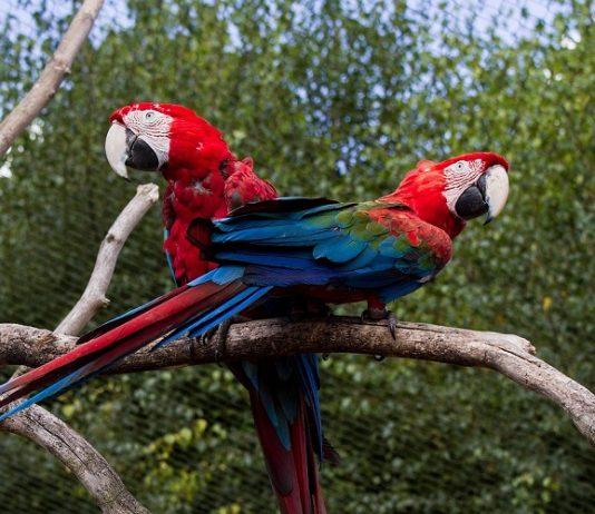 ara papağanı, ara papağanı özellikleri, ara papağanı bakımı, ara papağanı beslenmesi