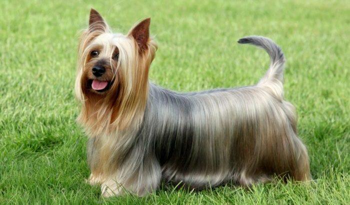 australian silky terrier, avustralya i̇pek terrier, silky terrier