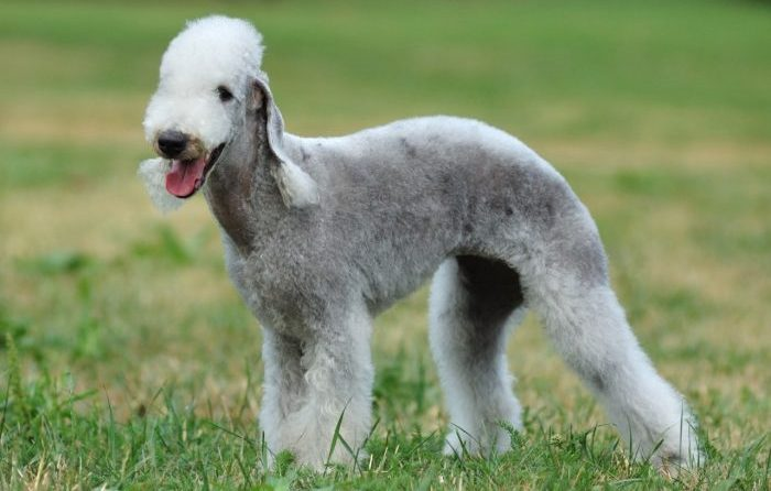 bedlington terrier, bedlington terrier dog