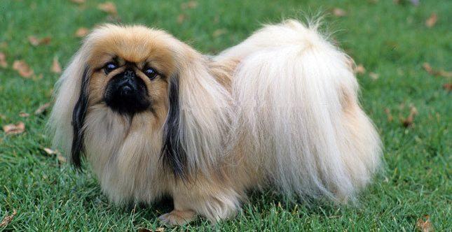 beijing dog, pekin köpeği, pekinez köpek, pekines köpek