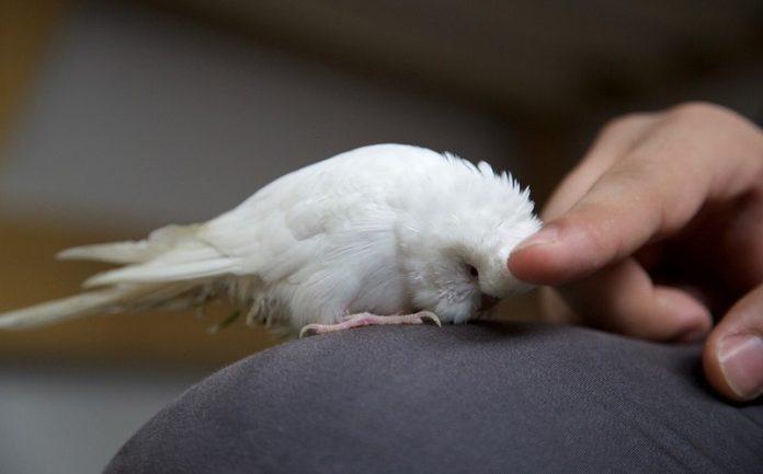 beyaz papağan, beyaz papağan özellikleri, beyaz papağan bakımı, beyaz papağan beslenmesi