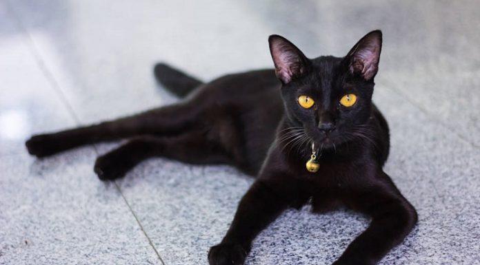 bombay kedisi, bombay kedisi özellikleri, bombay kedisi bakımı, bombay kedisi beslenmesi