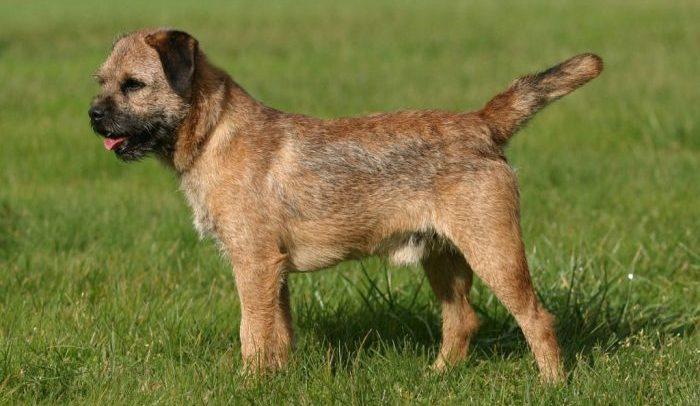 border terrier, border terrier dog, border terrier köpek