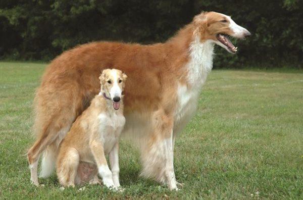 borzoi, rus kurt tazısı, rus kurt köpeği