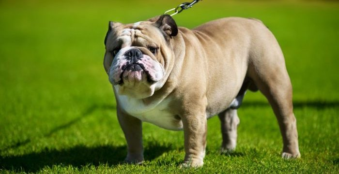 bulldog, buldog köpeği, bulldog köpek, köpek bulldog, buldog, bu dog