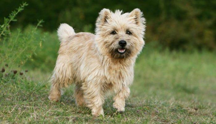 cairn terrier, cairn terrier dog, cairn terrier köpek