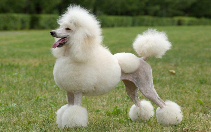 caniche poodle, caniche poodle dog, standart poodle, poodle köpek, toy poodle, kaniş puudle, kaniş, kaniş köpek