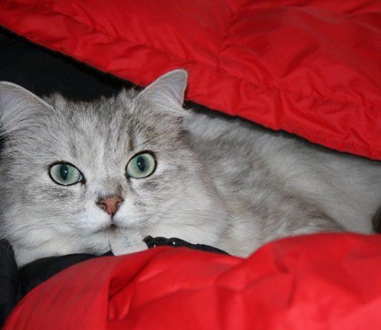 chinchilla kedi, chinchilla kedi özellikleri, chinchilla kedi bakımı, chinchilla kedi beslenmesi