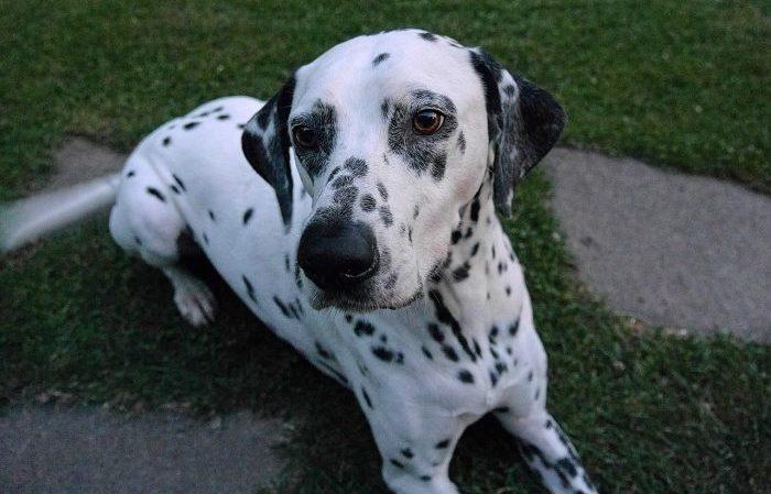 dalmaçyalı, dalmaçya köpeği, 101 dalmaçyalı