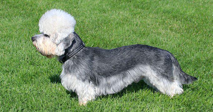 dandie dinmont terrier, dandie dinmont terrier dog