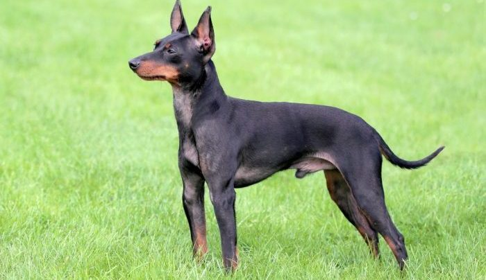 english toy terrier, ingiliz oyuncak terrier, english toy terrier dog