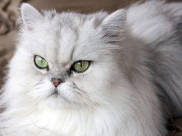 fars kedisi, fars kedisi özellikleri, fars kedisi bakımı, fars kedisi beslenmesi