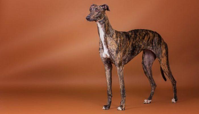 greyhaund i̇ngiliz tazısı, Greyhaund British Greyhound