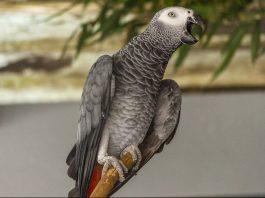 gri papağan, gri papağan özellikleri, gri papağan bakımı, gri papağan beslenmesi