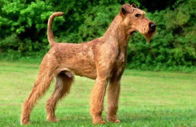 irlanda terrier, ireland terrier, ireland terrier dog, irlanda teriyeri