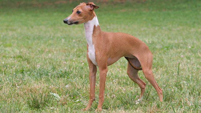 italian greyhound, italian greyhound dog, i̇talyan tazısı, boo köpek