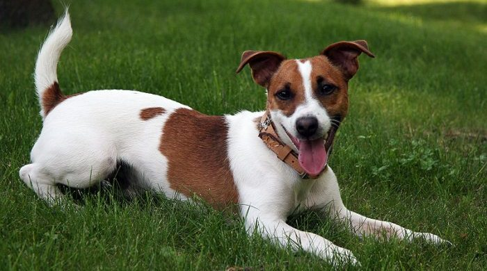 jack russell terrier, jack russell terrier dog, jack russell, jack russell dog, jack dog, terrier jack russel, jake russel