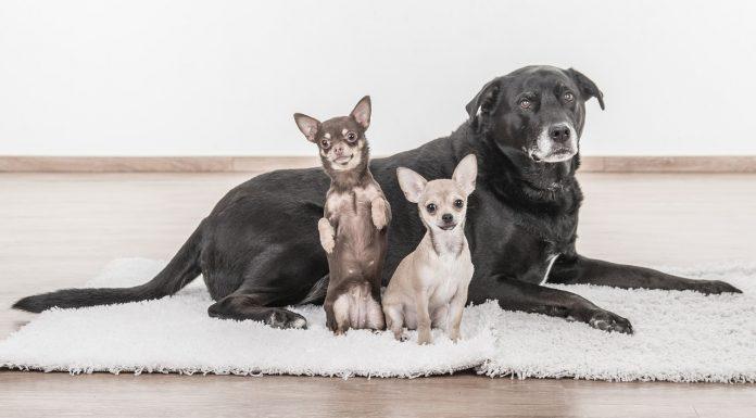 köpek cinsleri, köpek türleri, köpek çeşitleri, köpek isimleri, küçük köpek cinsleri, süs köpekleri, köpek ırkları, büyümeyen köpek cinsleri, küçük köpek türleri, köpek cinsleri resimli, koruma köpekleri