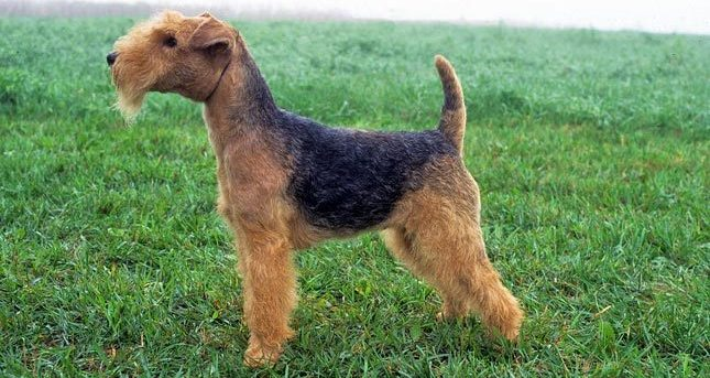 lakeland terrier, lakeland terrier dog