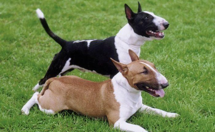 miniature bull terrier, miniature bull terrier dog, minyatür bull terrier, terrier mini, bull terrier özellikleri
