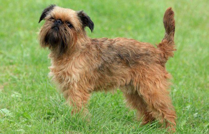 miniature griffon, miniature griffon dog, Minyatür Griffon, Soytarı Köpeği