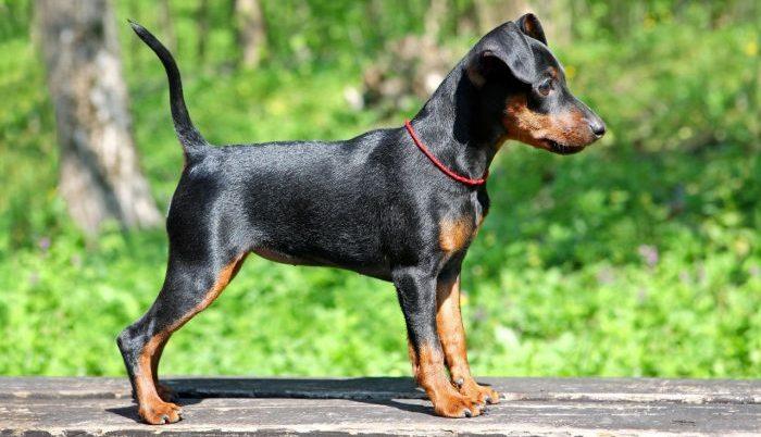 miniature pinscher, miniature pinscher dog, minyatür pinscher, pincher kopek, pinçır köpek, pinscher özellikleri, minyatür doberman, pinscher köpek