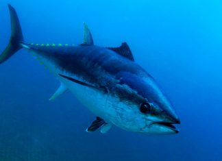orkinos balığı, ton balığı