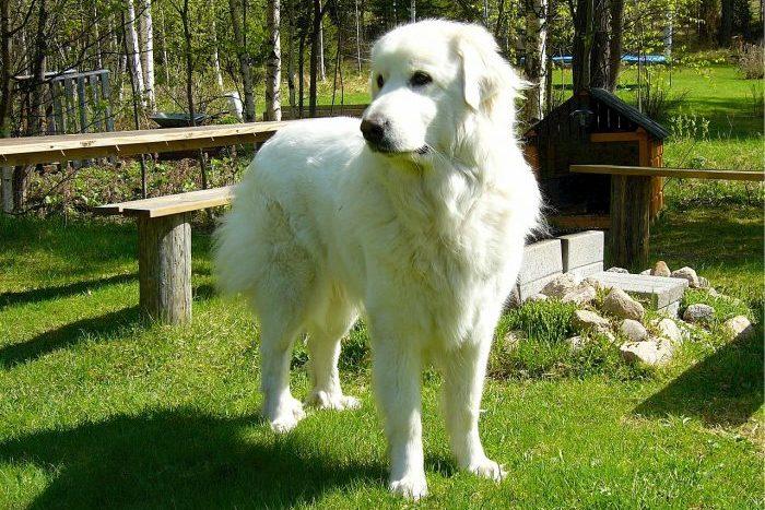pirene çoban köpeği, pyrenees çoban köpeği, pirene dağ köpeği, pirene, pyrenees dog