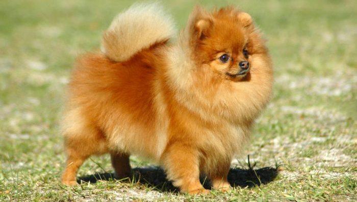 pomeranian dog, pomeranian köpeği, pomeranian, pomeranian köpek